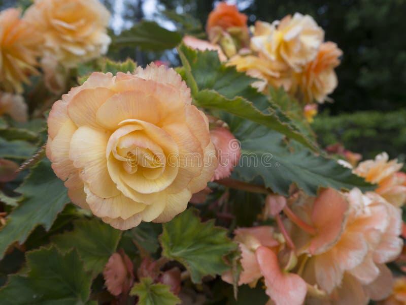 Gulaktig rosa rosa blomma på den nära sikten för buske med blured blommor och gröna sidor på bakgrund arkivfoton