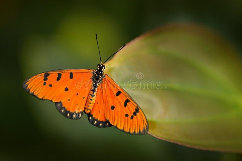 Gulbrun coster, Acraea terpsicoresyn A violae i naturlivsmiljö Trevligt kryp från Indien i den orange fjärilen för grön skog royaltyfria foton