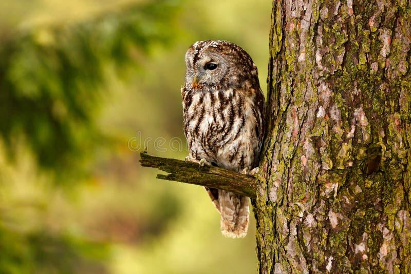 Gulbrun uggla som döljas i sammanträdet för skogbruntuggla på trädstubbe i den mörka skoglivsmiljön med låset Härligt djur i natu arkivbild