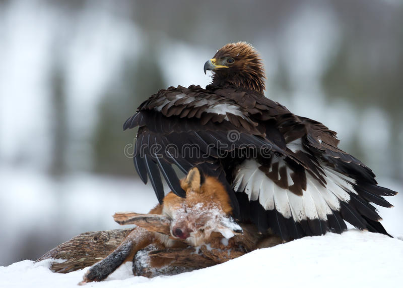 Guld- örn (Aquila chrysaetos) royaltyfria bilder