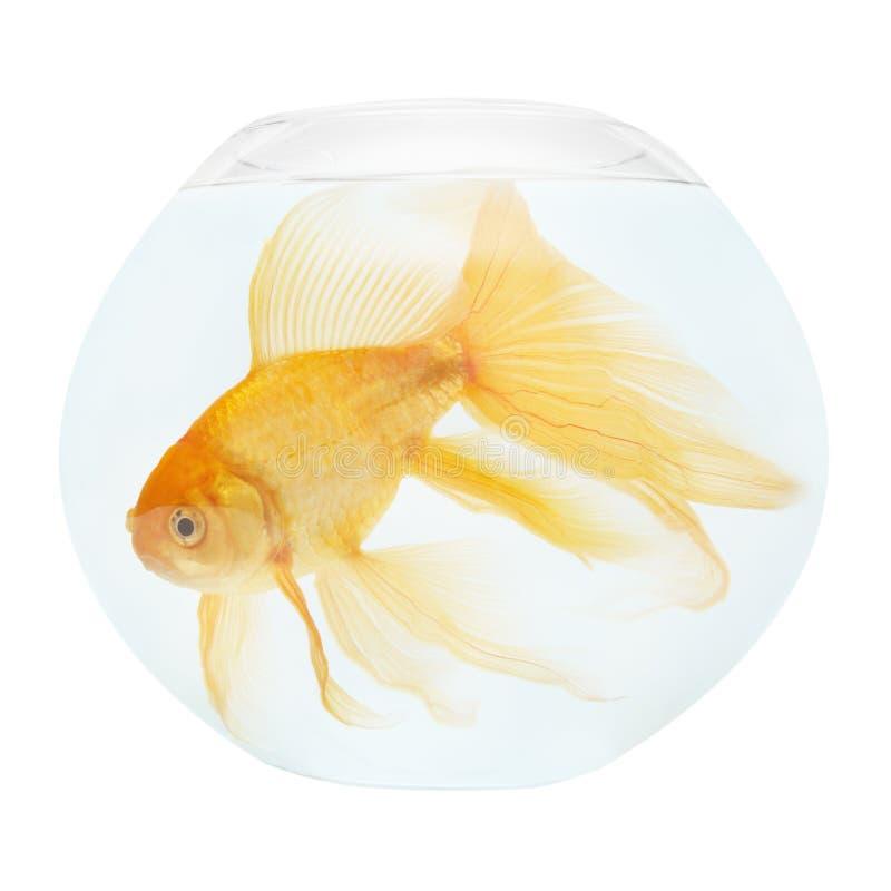 guld- akvariefisk royaltyfri bild