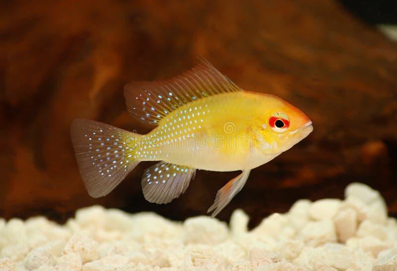 Guld- akvariefisk för Ram Dwarf cichlidMikrogeophagus ramirezi arkivfoto