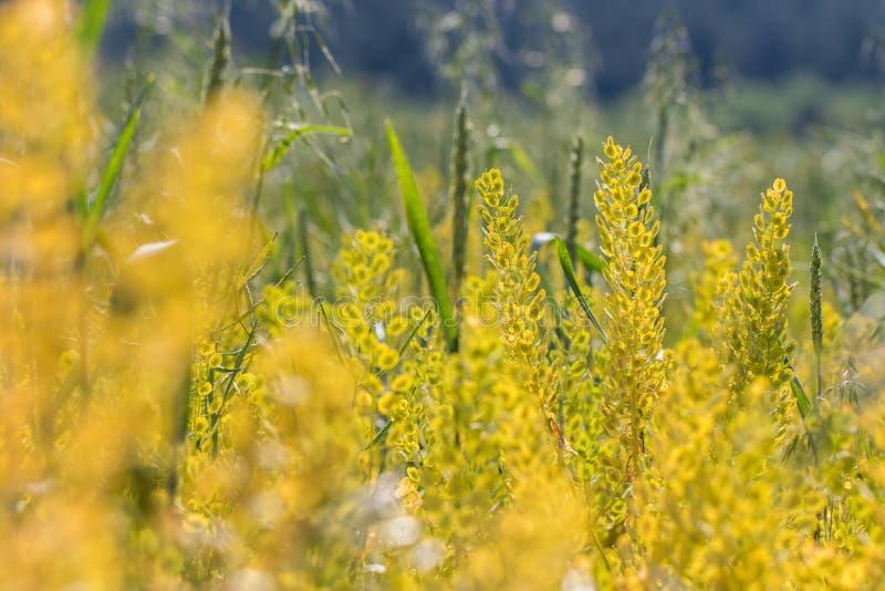 Guld- arvense för fältpennycressThlaspi på fältet arkivfoto