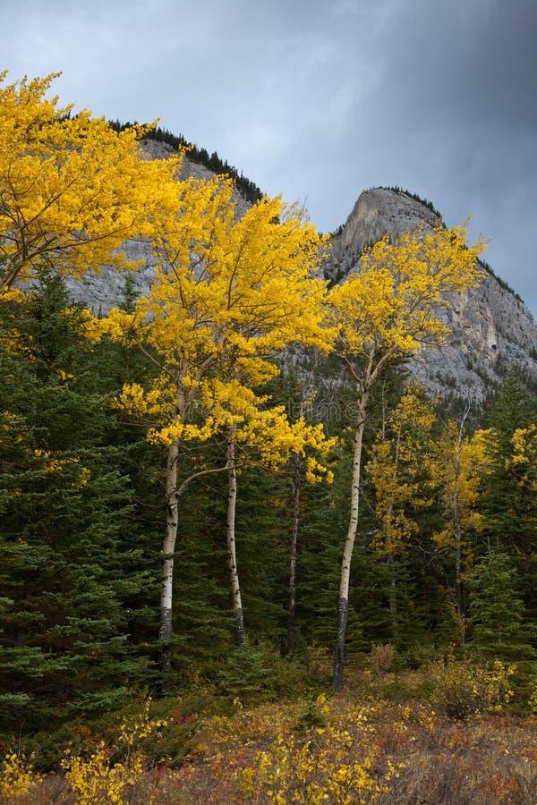 Guld- asp- träd i den Banff nationalparken, Alberta, Kanada arkivfoton