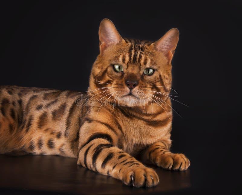 Guld- Bengal katt på en isolerad svart bakgrund royaltyfria foton