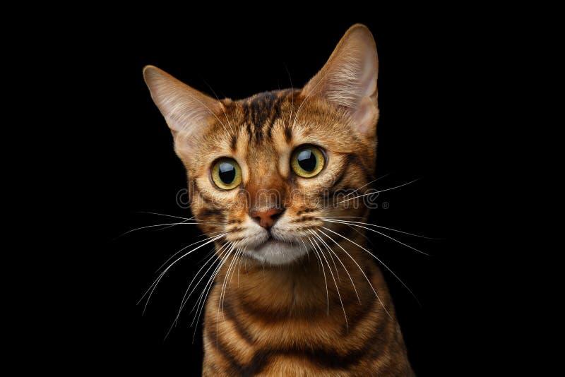 Guld- Bengal katt på isolerad svart bakgrund arkivbilder