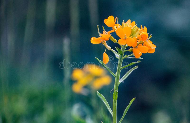 Guld- blomma av Himalayas fotografering för bildbyråer