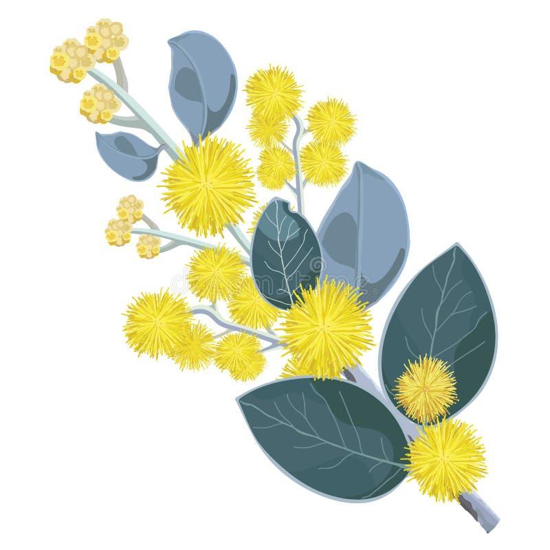 Guld- blommor för blomningWattleträd vektor illustrationer