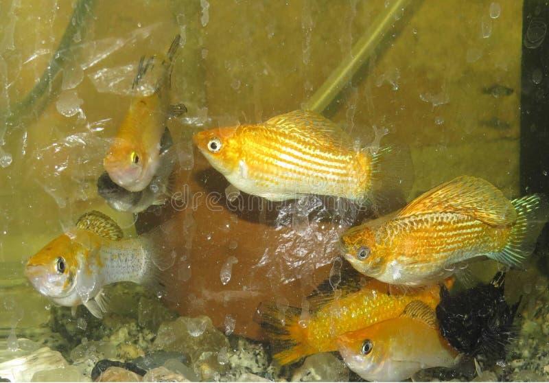 Guld- bo moly i salt vatten fotografering för bildbyråer