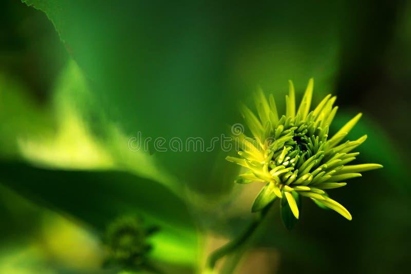 guld- bollar för rudbeckia Rudbeckiahuvudknopp, härliga gula trädgårdblommor arkivfoton