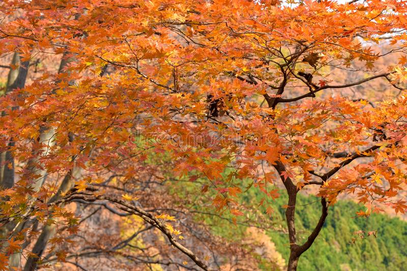 Guld- bruna Autumn Maple Foliage, Nikko Japan royaltyfria foton