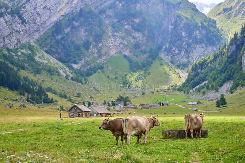 Guld--brunt skrämmer nära brunnsort på berget betar i liten by i schweiziska fjällängar royaltyfri fotografi