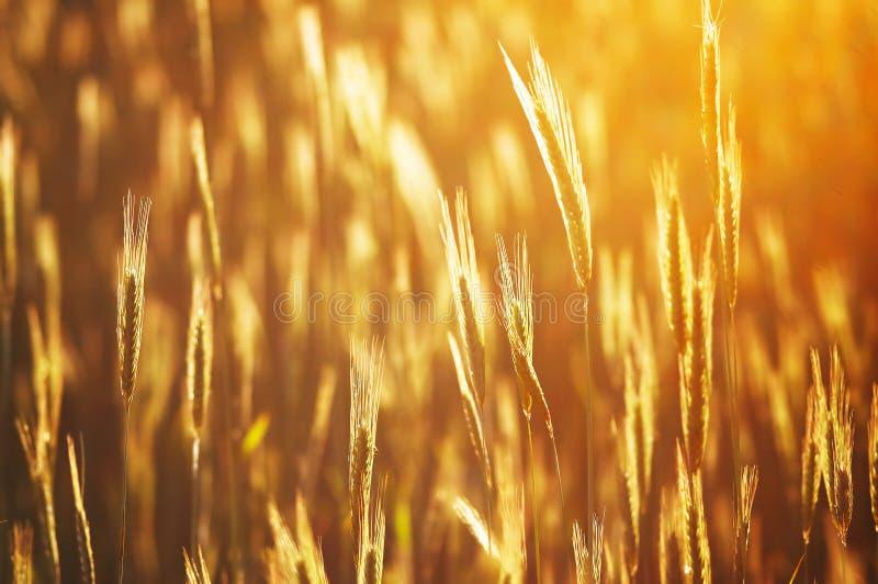 guld- cropfield royaltyfri foto