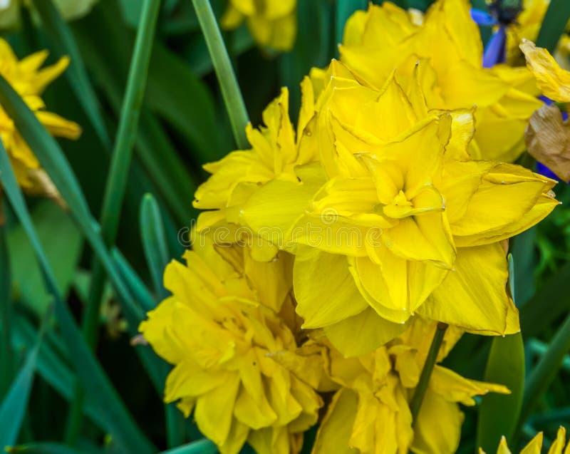 Guld- dukat för pingstlilja, dubbel påsklilja en populär hybrid- specie i trädgårdsnäring, dekorativa trädgårdväxter, naturbakgru royaltyfri fotografi