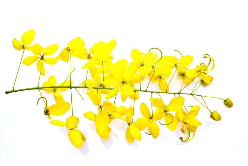 Guld- dusch (Cassiafisteln) fotografering för bildbyråer