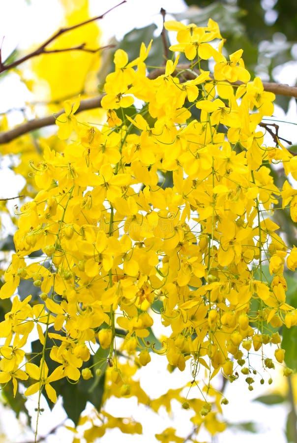 Guld- duschblommor. royaltyfri foto