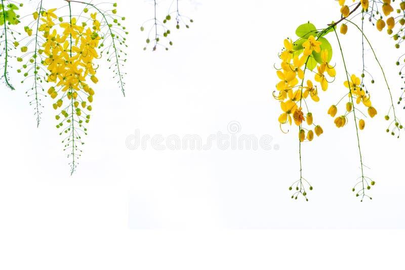 Guld- duschblommor, blommor för Cassiafistulosaträd, sommar f royaltyfri foto