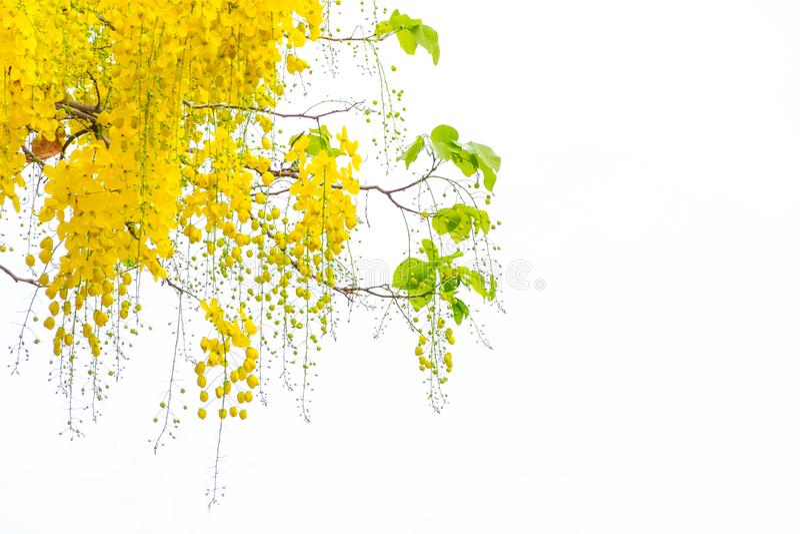 Guld- duschblommor, blommor för Cassiafistulosaträd, sommar f fotografering för bildbyråer