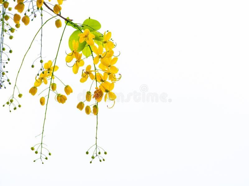 Guld- duschblommor, blommor för Cassiafistulosaträd, sommar fl arkivfoton