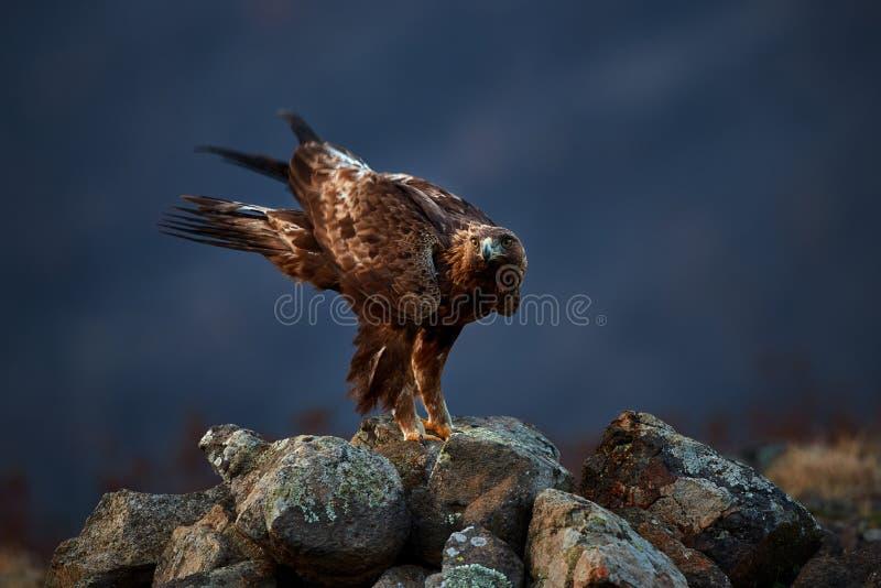Guld- Eagle Aquila chrysaetos som sitter på, vaggar trädgården wild djur arkivbilder
