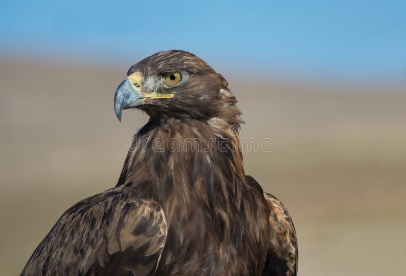 Guld- Eagle av Kirgizistan royaltyfri foto