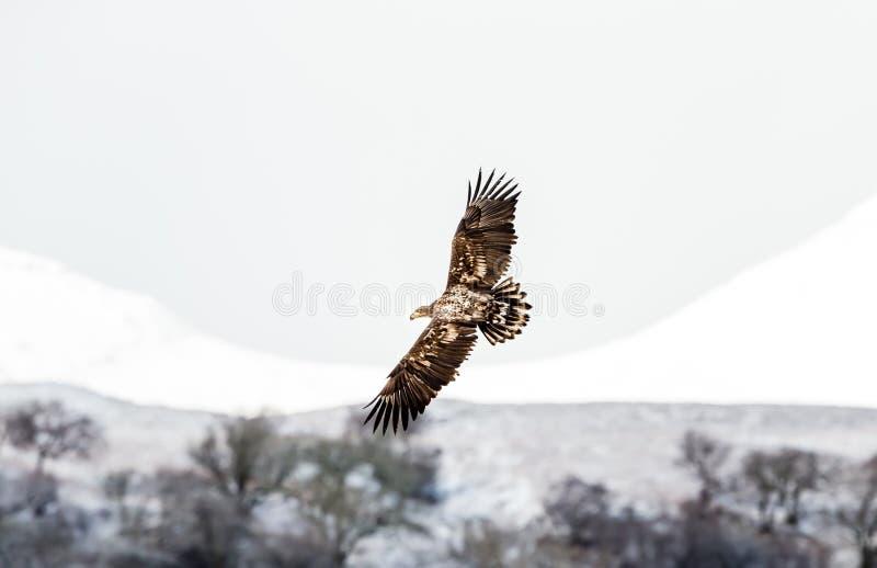 Guld- Eagle i flykten över ön av Mull, Skottland, UK royaltyfria foton