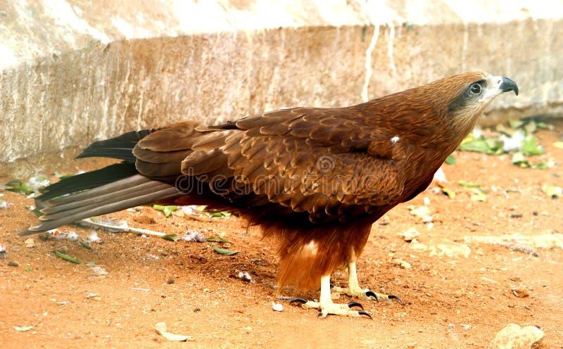 Guld- Eagle sidosikt arkivbilder