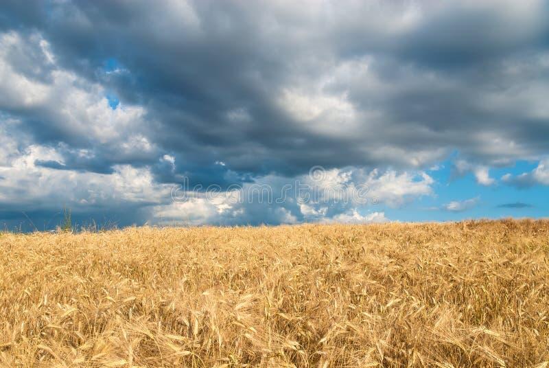 Guld- fält av korn på en stormig dag arkivfoton