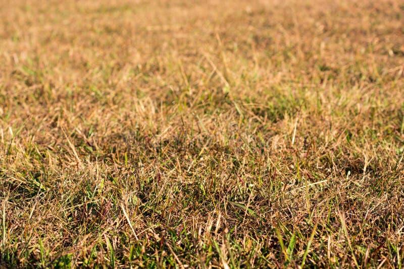 Guld- fält för torrt gräs som fokuseras på förgrund royaltyfri bild