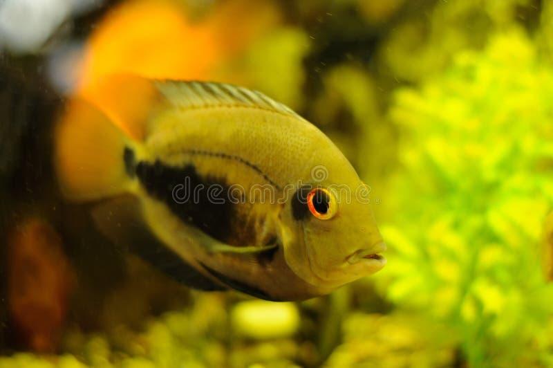 Guld- färgfisk i akvarium royaltyfri fotografi