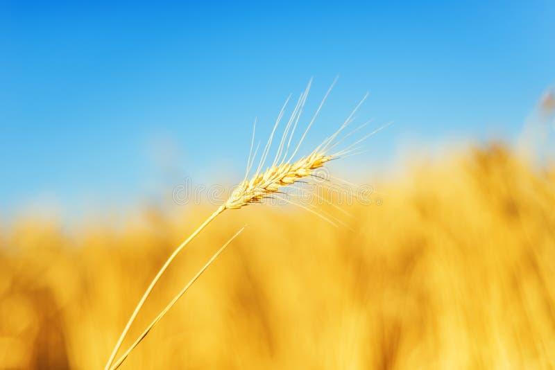guld- färgskörd i solnedgång på åkerbrukt fält royaltyfria bilder
