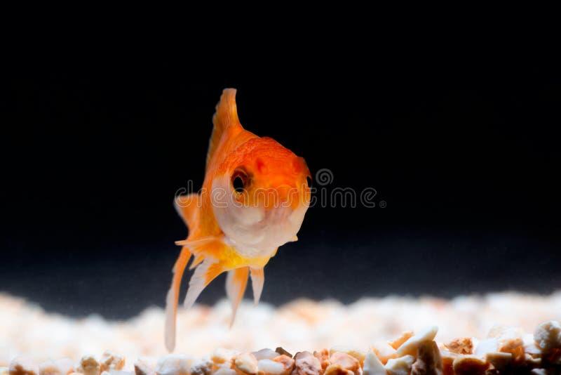 Guld- fisk eller guldfisk som svävar simning som är undervattens- i ny akvariumbehållare royaltyfri bild