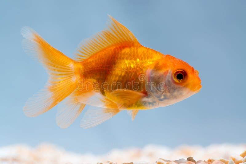 Guld- fisk eller guldfisk som svävar simning som är undervattens- i ny akvariumbehållare royaltyfri fotografi