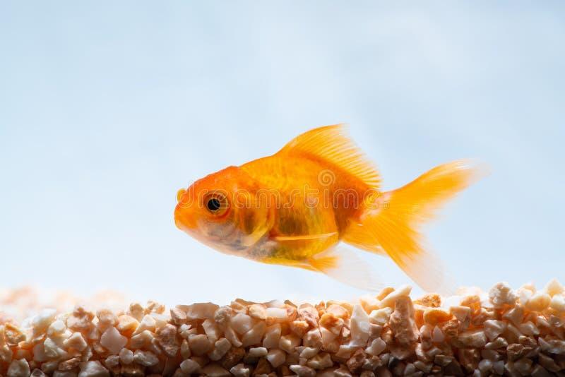 Guld- fisk eller guldfisk som sv?var simning som ?r undervattens- i ny akvariumbeh?llare royaltyfria bilder
