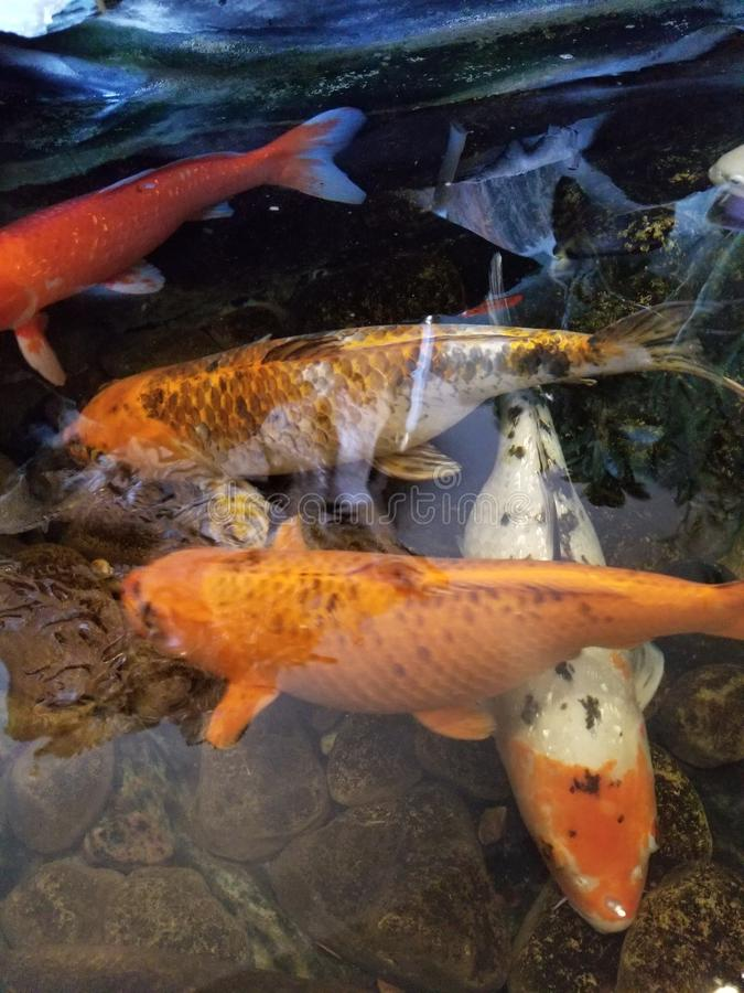 Guld- fisk i en vietnamesisk retaurant& x27; s-damm arkivbilder