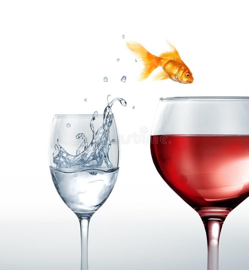 Guld- fisk som ler banhoppning från ett exponeringsglas av vatten, till ett exponeringsglas av rött vin. royaltyfri bild