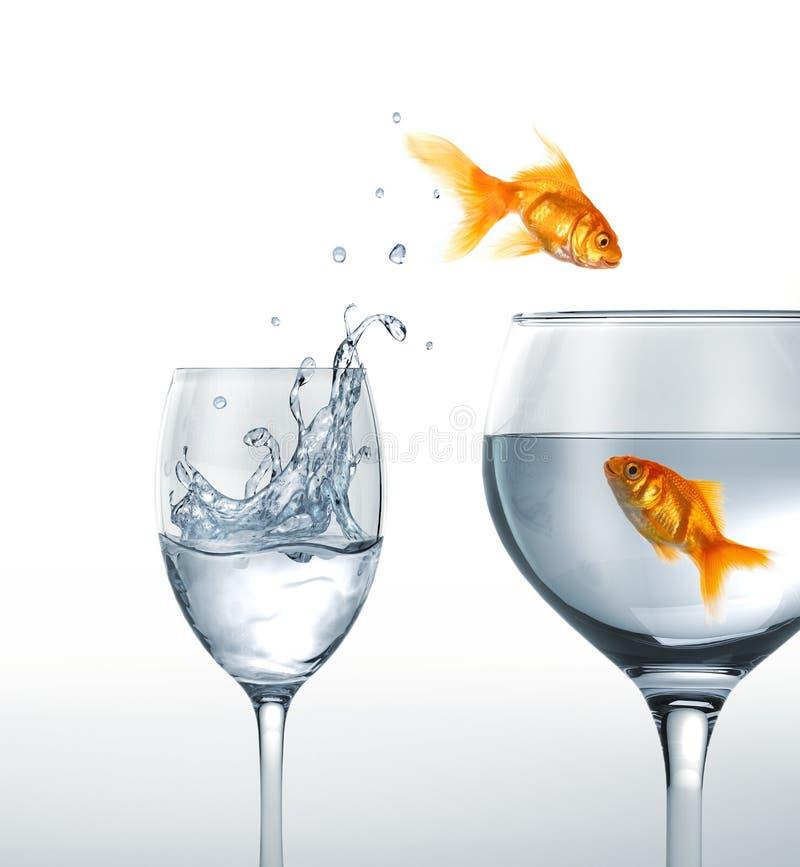 Guld- fisk som ler banhoppning från ett exponeringsglas av vatten till större. arkivfoto