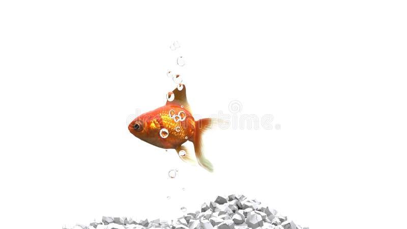 Guld- fisk - vita kiselstenar - luftbubblor royaltyfria bilder