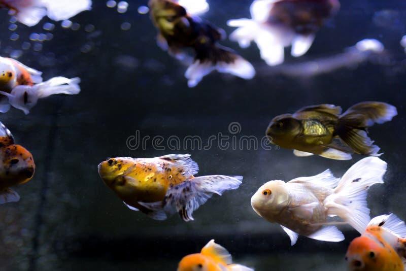 Guld- fisksimning i akvariet fotografering för bildbyråer
