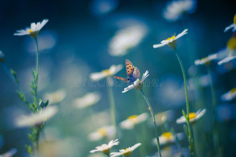Guld- fjäril på tusenskönablommor royaltyfria bilder