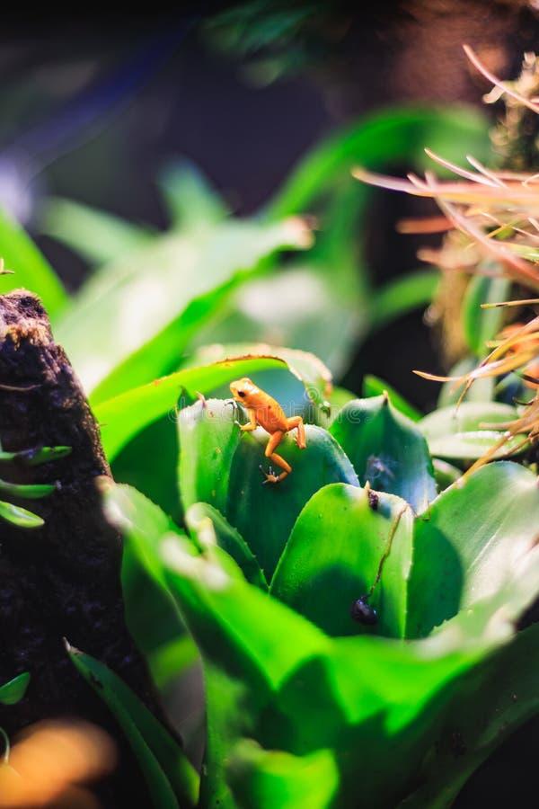 Guld- giftpilgroda i naturlig rainforestmiljö royaltyfria foton