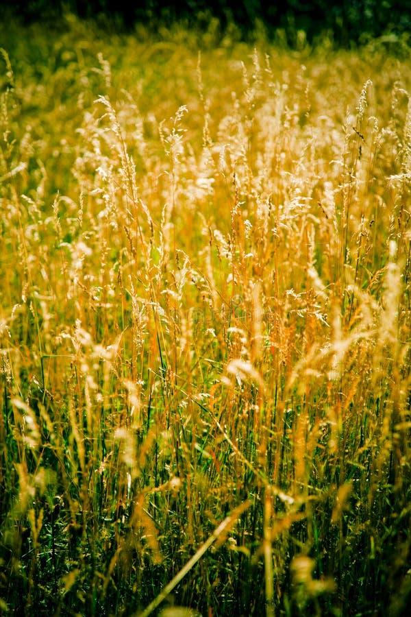 guld- gräs arkivfoto