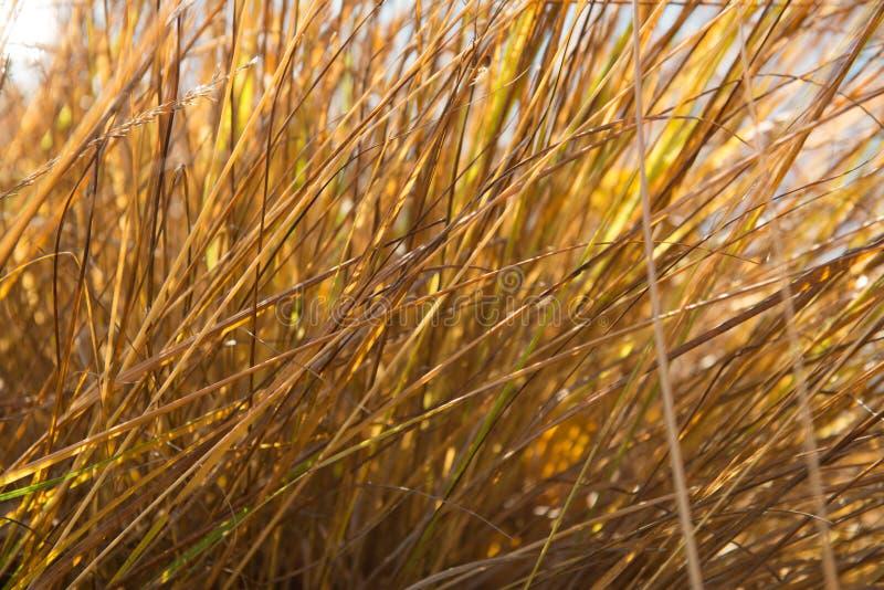 Guld- gräs arkivbilder