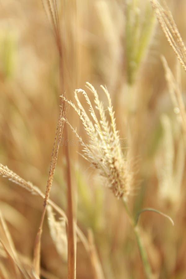 Guld- gräscloseup med suddig bakgrund royaltyfria bilder