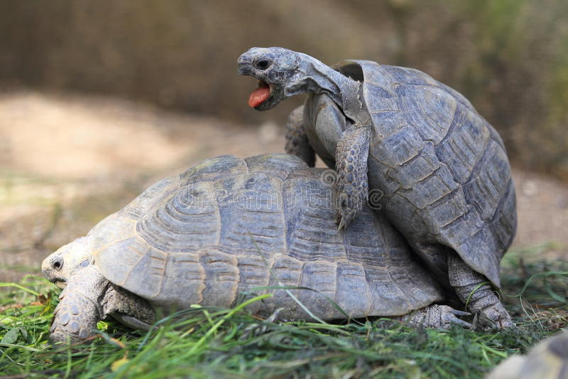 Guld- grekisk sköldpadda royaltyfria foton