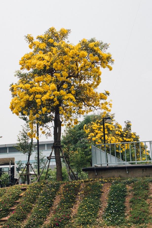 Guld- gul blomning för blommablomningträd royaltyfria bilder