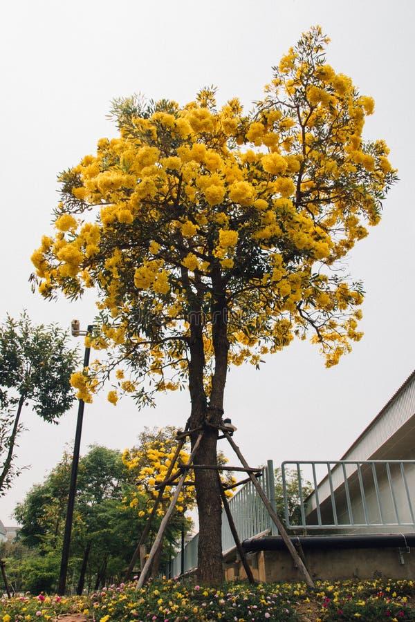 Guld- gul blomning för blommablomningträd arkivfoto