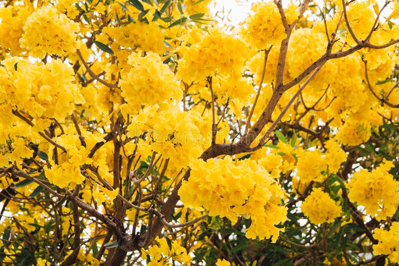 Guld- gul blomning för blommablomningträd fotografering för bildbyråer