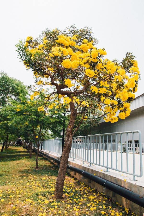 Guld- gul blomning för blommablomningträd royaltyfria foton