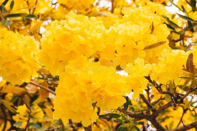 Guld- gul blomning för blommablomningträd royaltyfri fotografi